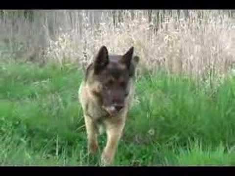 Saku, Great German Shepherd dog
