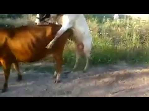 Xxx Mp4 Funny Cow 3gp Sex