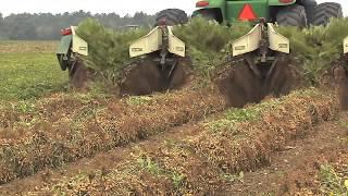 Georgia Peanut Farmers Ready For Harvest After Difficult Growing Season