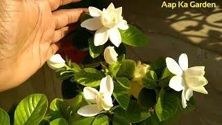 61.Grow এবং যত্ন গন্ধরাজ ফুল गंधराज के पौधे की देखभाल कैसे करैं