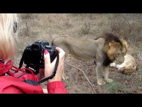Lions sex - Safari in South Africa, 2014 November