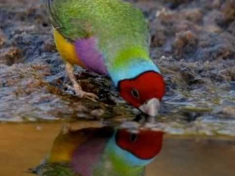 Diamantes de Gould na natureza Australian Gouldian Finch