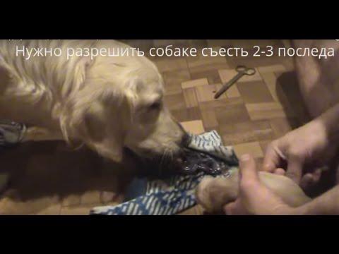 Роды у собаки на ютубе