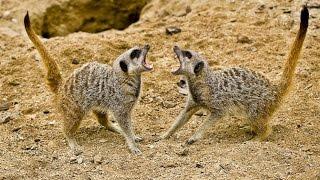 Meerkat Vs Meerkat Deadliest fight - Nat Goe Wild