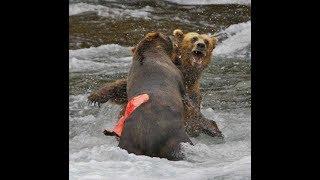 Медведь против