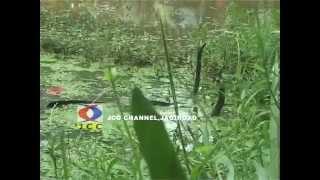 Snake Mating at Jagiroad,Assam