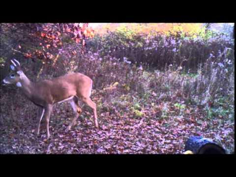 Deer Licking branch and scrape