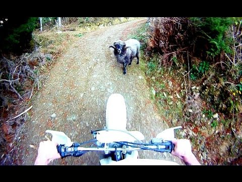 Angry ram attacks motorcyclist in the forest