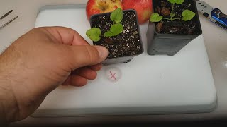 EASY WAY How to Grow an Apple Tree from Seed