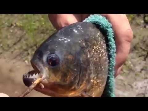 видео как ловят пираний