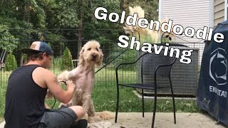 Shaving the Goldendoodle