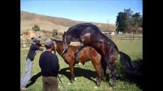 Cruzamento de Cavalos Mangalarga Marchador -Absinto x Jangada-