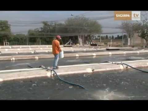Producción intensiva de tilapia en Sinaloa