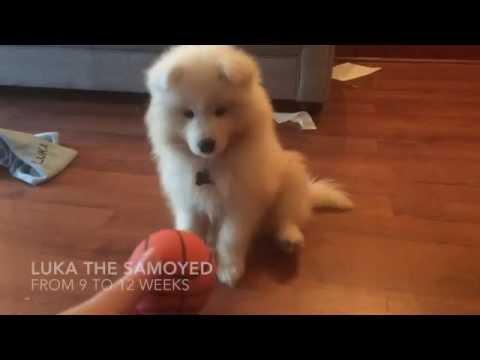Luka Samoyed puppy 9 12 weeks old