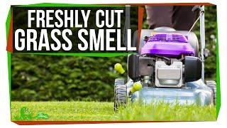 What Makes Fresh Cut Grass Smell?