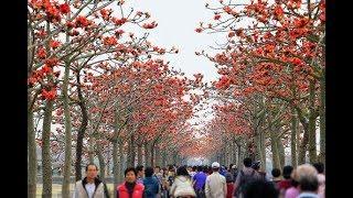 عبيد العوني  اشجار الزهور العالمية  تناسب   البيئة العربية   - ليش ماتزرع في الشوارع والمدن