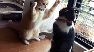 わが家の2匹の猫は喧嘩ダイエット実践中😸【猫日記こむぎ&だいず】2018 03 18
