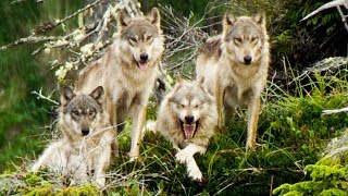 Wolves Save Their Grandmother From Starving | BBC Earth