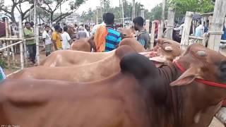 Cow market price 2018 / Eid-ul-Azha / BD Life Trailer