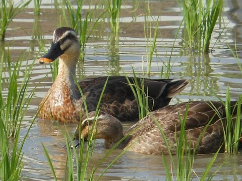 Ducks Trained to Manage Rice Paddies in Thailand