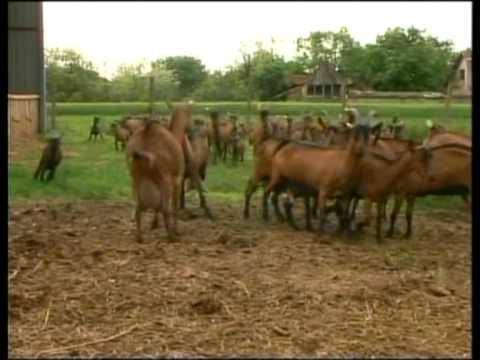 Prilog o odgajivacu koza Milanu Rainovicu iz Kisaca