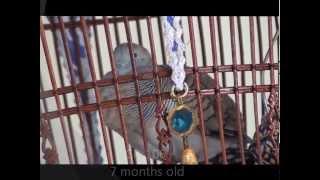 Perkutut, Merbok, Zebra dove, นกเขาชวา(CP Farm@Pattani) [MV.7]