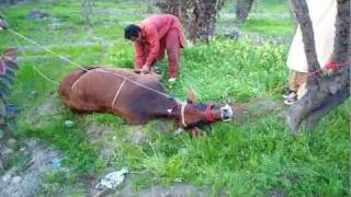 High Definitoin- Zakir's wedding . cow getting prepared to meat its maker..mp4