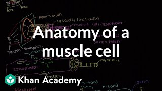 Anatomy of a skeletal muscle cell   Muscular-skeletal system physiology   NCLEX-RN   Khan Academy