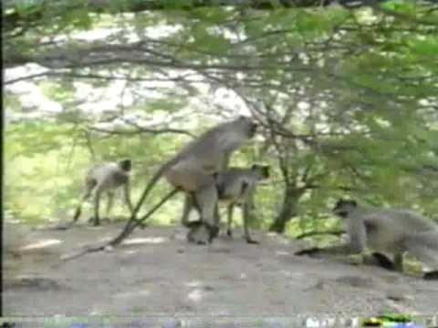 Monkey's mating!