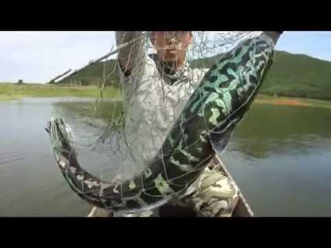 Massive MAMA Toman Giant Snakehead Wild Fishing Thailand By BKKGUY