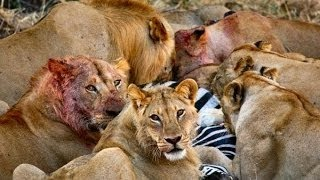 Documentary Best New Series Lion Wars Documentary ★ Documentary National Geographic
