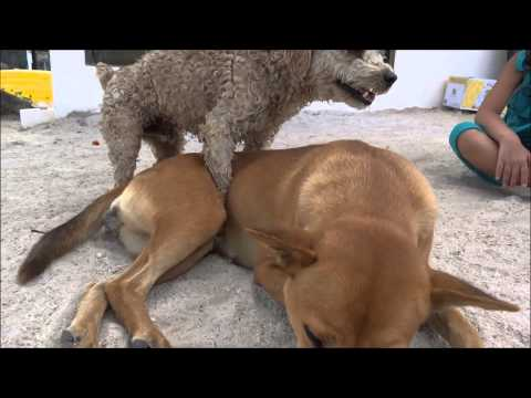 Xxx Mp4 DOGS MATING FAIL DOGS BREEDING FAIL FUNNY VIDEO 3gp Sex