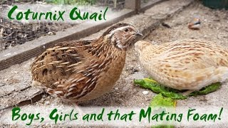 The Difference Between Male and Female Coturnix Quail | Japanese Quail Mating Foam!