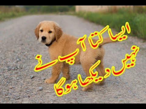 Xxx Mp4 Dhirkot Azad Kashmir Genus Dog For Sale 03465229411 3gp Sex