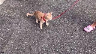 初めてのお散歩をした猫は・・・  I am just going to take the cat for a walk.