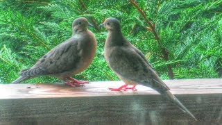 Mourning Dove Courtship and Mating