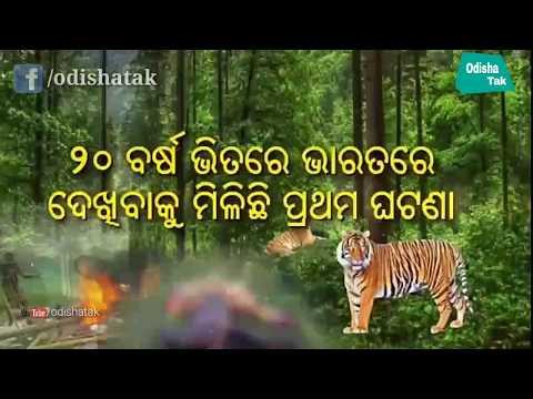 Xxx Mp4 Angul Woman Killed By 'Tiger' In Satkosia Angul Odisha Locals Go Berserk Odisha Tak Subscribe 3gp Sex