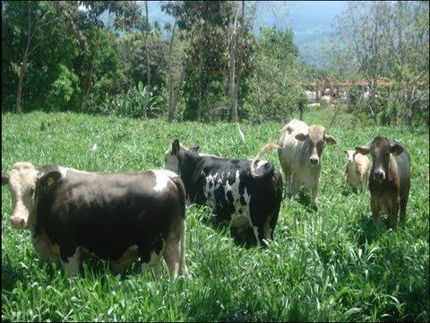 Pasto Yacare (BR02/1752)