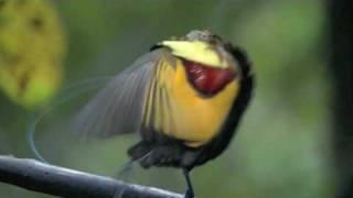 Astounding Mating Dance Birds of Paradise -- High Quality