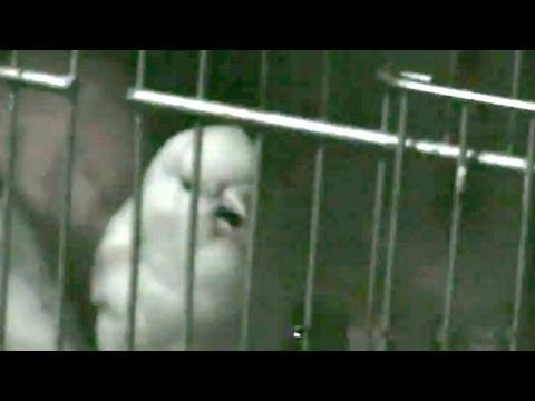 singing canary Canarios Cantores es época de cria y competir por la hembras