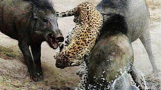 Fight Wild boar VS Leopard   Fight to Death Leopard Attack Wild Boar #NATURELIFE
