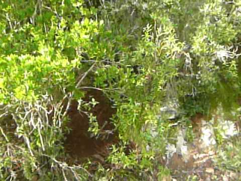 Cinghiale catturato da un laccio dei bracconieri Gutturu Mannu Sardegna SW Dic 09 1a parte