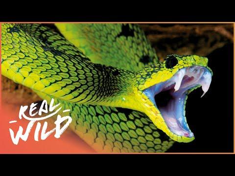 Xxx Mp4 World S Deadliest Venom Killer Snakes Documentary Wild Things 3gp Sex