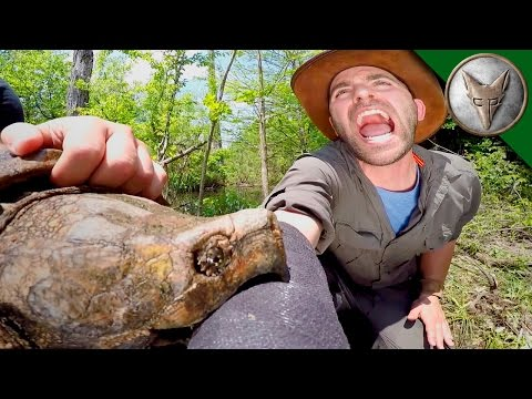 CRAZY Alligator Snapping Turtle Bite