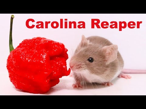 Xxx Mp4 Does The World 39 S Hottest Pepper Repel Mice Amp Rats Carolina Reaper Mousetrap Monday 3gp Sex