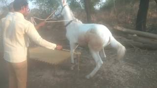 6 month old horse in Maharashtra 9850358946