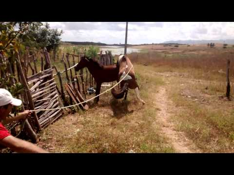Cavalo do darli cobrindo potra de egua