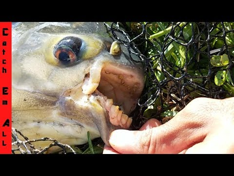Xxx Mp4 GIANT PIRANHA MONSTER Caught In Florida POND NEW BIGGEST EVER 3gp Sex