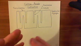 Cardiac Muscle Contraction Part 1