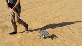 Falcon Show in the Desert of Dubai-Al Aweer عرض صقور في صحراء دبي العوير